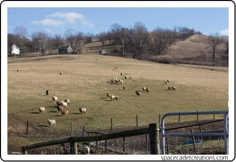 Free Range Sheep